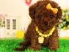 泰迪犬宠物纯种茶杯幼