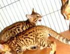 孟加拉纯种豹猫花色好3个多月.美短弟弟一只
