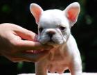 精品斗牛犬包纯种保健康签协议出售全国可飞可上门