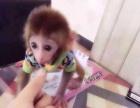 宠物猴,袖珍石猴