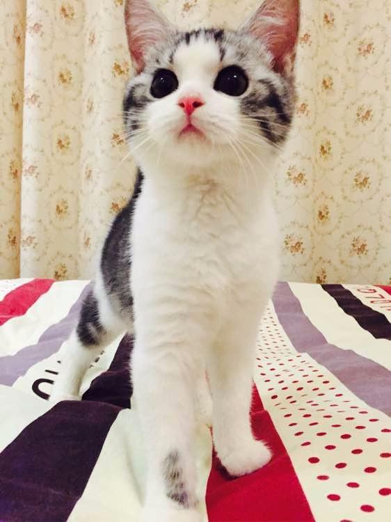 青岛哪里有美短猫虎斑加白卖 纯血统 萌翻你的眼球 品质保障