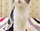 兰州哪里有美短猫虎斑加白卖 纯血统 萌翻你的眼球 品质保障