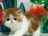 广东中山双血统加菲幼猫一手出售
