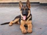 本溪本犬舍出售纯种阿拉斯加 健康保障