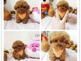 品质超小体玩具茶杯泰迪犬 品质保终身 可签协议