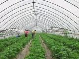 上海蔬菜大棚 连体温室钢架大棚 低价出租(5000平)