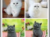 全年繁殖高品质双血统无毛猫