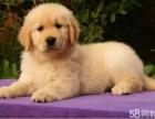 金毛犬是非常之迷人可爱的 小金毛也是大骨架