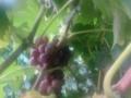 南阳葡萄园采摘,较新鲜、较天然的葡萄熟了!