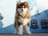 哈尔滨大骨架熊版纯种阿拉斯加幼犬 保健康 可送货