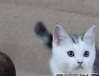 猫舍出售美短加白起司 虎斑折耳等名猫包纯种包健康