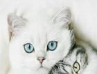 蓝猫渐层大包子脸性格好粘人萌萌哒同城可免费送猫上门