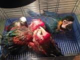 出售金刚鹦鹉 亚马逊鹦鹉 灰鹦鹉 大绯胸鹦鹉 葵花鹦鹉 折衷