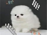 品质好一点的博美犬多少钱 要纯种品相好的