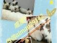 喵屋 美短,英短,布偶,暹罗,加菲,金吉拉,蓝猫狮子猫