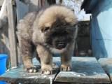 江门哪有高加索犬卖 江门高加索犬价格 江门高加索犬多少钱