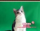 X-赛级美短虎斑加白小起司猫帅哥-《思晴名猫坊》