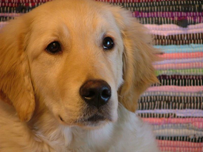 金毛导盲犬 金毛寻回犬 金毛最新价格 自家养殖包纯正包健康