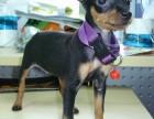 重庆小鹿犬幼犬多少钱一只重庆哪里有卖小鹿犬 小鹿犬价格