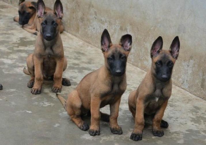 温州哪里卖马犬 温州纯种马犬价位 温州便宜的马犬卖