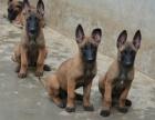 保障 犬舍繁殖纯种马犬 纯种健康养活 可签协议