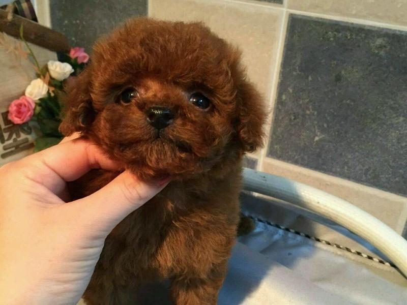 成都狗狗之家长期出售高品质 泰迪 售后无忧