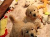 人见人爱的一窝可爱的小金毛犬宝宝找爱心人来领养