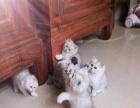 纯种健康金吉拉猫等猫咪出售 宠物猫幼崽 可签订协议