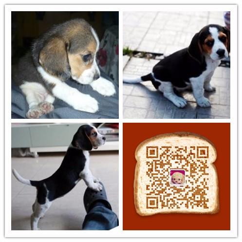 纯种比格犬价格 杭州哪里卖比格犬 多少钱