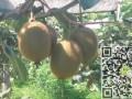 网上买猕猴桃,网上购买猕猴桃,产地猕猴桃价格-