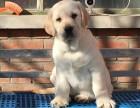 上海出售纯种导盲犬拉布拉多犬 黄色黑色白色拉布拉多出售