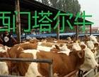 晋城肉牛犊价格多少钱一头西门塔尔牛鲁西黄牛夏洛莱牛
