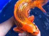 上海魚缸,錦鯉,龍魚,觀賞魚,冷水魚,熱帶魚專賣