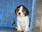 济南哪里卖纯种比格犬 济南比格猎犬多少钱 济南猎犬价格是多少