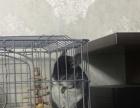 龙猫纯正品种,灰白颜色