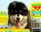可送货、狗场常年出售阿拉—狗父母可看三年联保、送狗用品