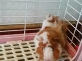 2只超级可爱亲人的逆毛荷兰猪