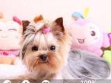 超小体约克夏幼犬包健康纯种 保障签协议实物拍摄