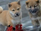 湛江哪里有卖健康柴犬