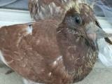 只家养的信鸽幼崽