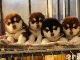 正规犬舍繁殖 纯种阿拉斯加 包细小犬瘟 签订协议