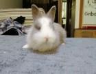 上海自家生养侏儒兔猫猫兔一窝价格180