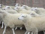 如何肉羊育肥使用优农康 养殖户都说好