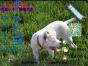 哪一家宠物店卖纯种健康的杜高犬多少钱一只