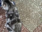 折耳银虎斑种公对外配种背后大蝴蝶花