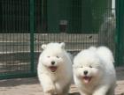 萨摩犬舍 萨摩价格 萨摩图片 萨摩耶犬多少钱 专业繁育