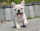 东莞纯种法国斗牛犬 价格 东莞哪里能买到纯种法国斗牛犬