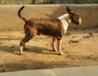 中国专业繁殖双血统牛头梗犬舍 可以上门挑选