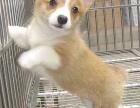 售后保证健康签协议 纯种健康柯基犬 协议保终身