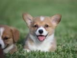 畢節本地出售泰迪 拉布拉多幼犬 狗狗包健康純種 售后無憂
